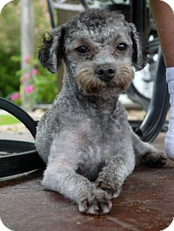 Poodle (Miniature) Mix Dog for adoption in Baton Rouge, Louisiana - Curley