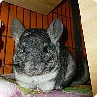Adopt A Pet :: Chim Chim - Jacksonville, FL