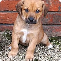 Adopt A Pet :: *Bennett - PENDING - Westport, CT
