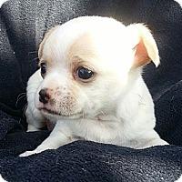 Adopt A Pet :: Oshie - Bridgeton, MO