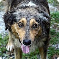 Adopt A Pet :: Monet - Brattleboro, VT