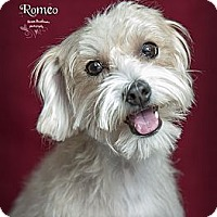 Adopt A Pet :: Romeo - Rancho Mirage, CA