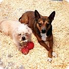 Adopt A Pet :: Maltese and Shiba Inu mix