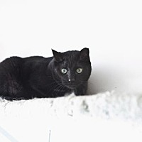 Domestic Shorthair Cat for adoption in Midway City, California - Onyx