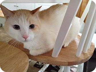 Domestic Shorthair Cat for adoption in New York, New York - Gus