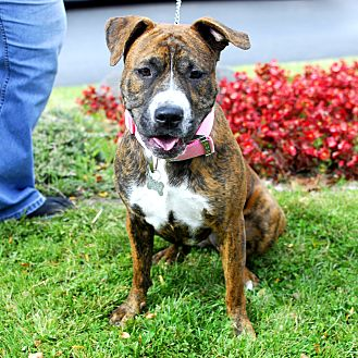 Boxer/Pit Bull Terrier Mix Dog for adoption in Detroit, Michigan - Daisy Mae-foster me?