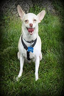 Chihuahua Dog for adoption in Troy, Illinois - Chico Fostered (Norma)