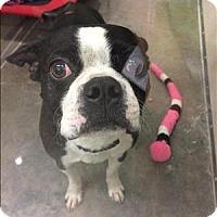 Adopt A Pet :: Buddy Boo - Neosho, MO