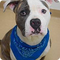 Adopt A Pet :: Bobby - Dublin, CA