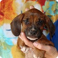 Adopt A Pet :: Aster - Oviedo, FL