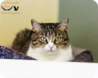 Domestic Shorthair Cat for adoption in Fargo, North Dakota - Melissa