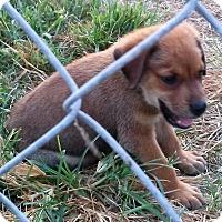 Adopt A Pet :: Joey - Waller, TX