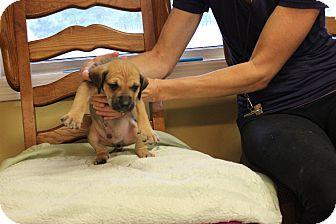 Shepherd (Unknown Type) Mix Puppy for adoption in Brattleboro, Vermont - Romo