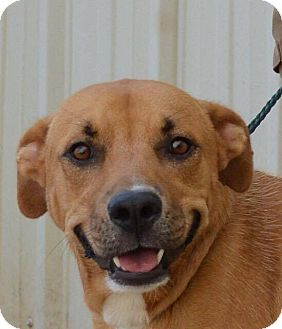 Labrador Retriever Mix Dog for adoption in Forked River, New Jersey - Clayton (URGENT)