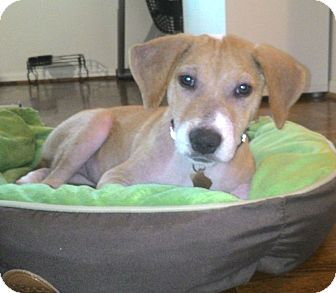 Beagle Mix Puppy for adoption in Houston, Texas - Lisa
