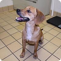 Adopt A Pet :: Nutmeg - Lumberton, NC