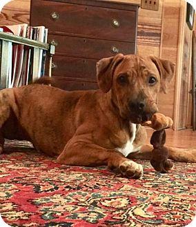 Labrador Retriever/Pointer Mix Dog for adoption in Rowayton, Connecticut - Champ has a wrinkled face which is adorable!