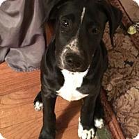 Adopt A Pet :: Star - Tuskegee, AL