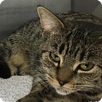 Domestic Shorthair Cat for adoption in Voorhees, New Jersey - Xena
