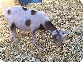 Goat for adoption in Palmdale, California - Cupid