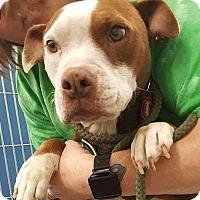 Adopt A Pet :: Diamond - Henderson, NC