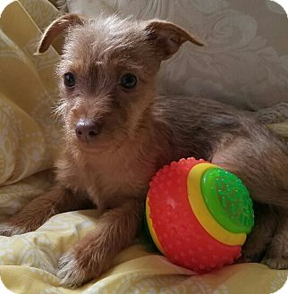 Silky Terrier Mix Puppy for adoption in Los Angeles, California - Mercy