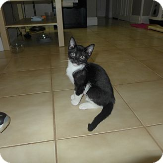 Domestic Shorthair Kitten for adoption in Harrison, New York - Oreo (Omar's Kitten)