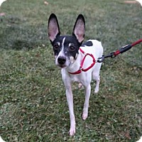 Rat Terrier Mix Dog for adoption in Urbana, Illinois - BRUTUS