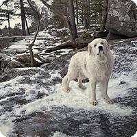 Great Pyrenees Dog for adoption in Edina, Minnesota - Paisley *DEAF* D161699