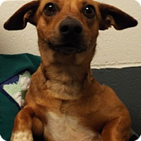 Adopt A Pet :: Lola - Grants Pass, OR