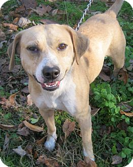 Beagle Mix Dog for adoption in Hillsboro, Ohio - Bowser
