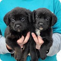 Adopt A Pet :: Kardashian Puppies - Versailles, KY