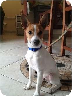 Rat Terrier/Basenji Mix Puppy for adoption in Orlando, Florida - Buck