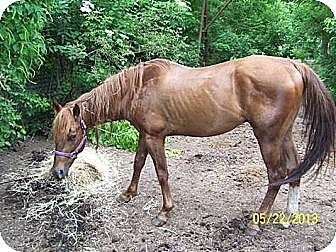 Quarterhorse for adoption in West Los Angeles, California - Bear