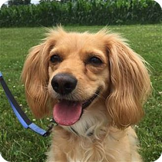 Cocker Spaniel/Retriever (Unknown Type) Mix Dog for adoption in Westminster, Maryland - Ginger 1099