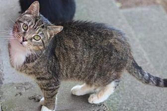 Domestic Shorthair Cat for adoption in Morehead, Kentucky - Sara SENIOR FEMALE