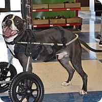 Adopt A Pet :: Finnegan - Cokato, MN