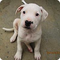 Adopt A Pet :: Jillian - Williston Park, NY