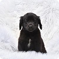 Adopt A Pet :: Tigger - Groton, MA