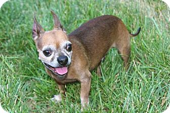 Chihuahua Dog for adoption in Washington, D.C. - RUDY