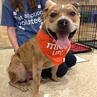 American Staffordshire Terrier Mix Dog for adoption in Bedford, Texas - Buddy