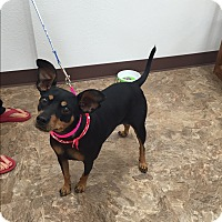 Miniature Pinscher Dog for adoption in Wichita Falls, Texas - Angel