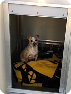 Chihuahua Mix Dog for adoption in Corona, California - Angel Boy, Survived Cancer