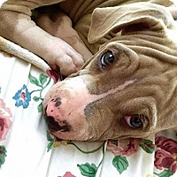 Pit Bull Terrier Mix Puppy for adoption in Austin, Texas - Baby Girl