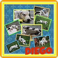 Dalmatian Mix Puppy for adoption in Fort Collins, Colorado - Diego