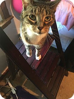 Domestic Shorthair Cat for adoption in Virginia Beach, Virginia - Addison