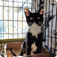 Domestic Shorthair Kitten for adoption in Philadelphia, Pennsylvania - Tinker Bell