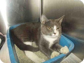 Domestic Shorthair Cat for adoption in Upper Marlboro, Maryland - *DOC