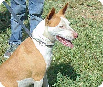 Basenji Mix Dog for adoption in Seattle, Washington - Magic