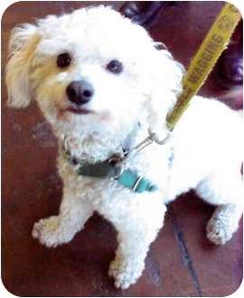 Miniature Poodle Dog for adoption in Portland, Oregon - Luke